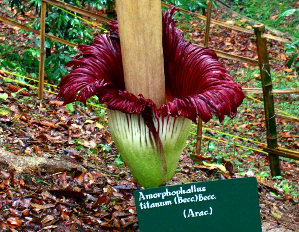 Bunga Bangke Kebun Raya Bogor